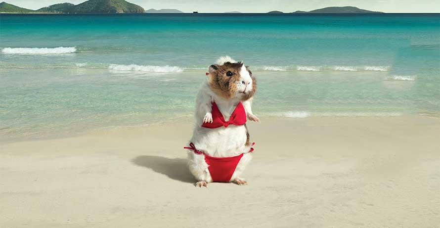 photo Pig bikini in a